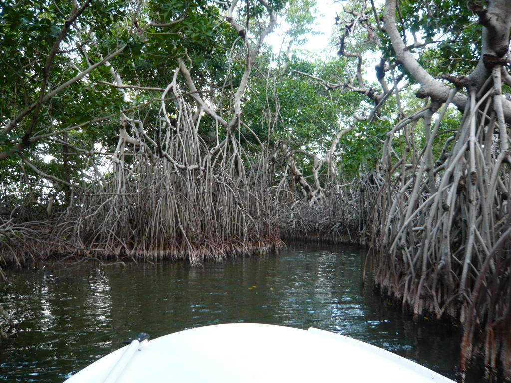 mangrove forest About mangroves although once thought of as useless wastelands, careful study and research has revealed that mangroves are among the most important ecosystems on this planet.